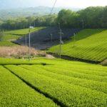 【宇治茶と静岡茶の違いとは?】詳しい特徴を兼ねて見分け方を解説