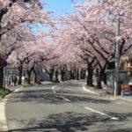 【桜を見る会2020開催】昨年撮った青森市の桜の写真を放出します()